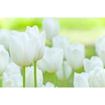 Wall Mural Field of white tulipes 60361 additionalThumb 1