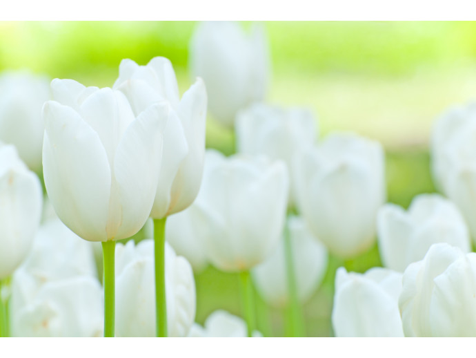Wall Mural Field of white tulipes 60361 additionalImage 1