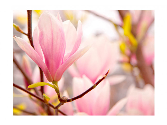 Wall Mural Magnolia flower bloosom 60413 additionalImage 1