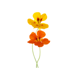 Wandtattoo Sublime fragrances: orange and yellow nasturtiums 90714