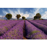 Foto Tapete Lavender field in Provence, France 60745 additionalThumb 1
