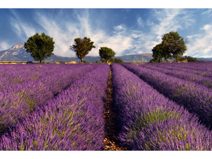 Foto Tapete Lavender field in Provence, France 60745 additionalImage 1