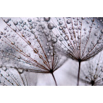 Wall Mural Dandelion and morning dew 60646 additionalThumb 1