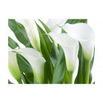 Photo Wallpaper Bunch of flowers - callas 60667 additionalThumb 1