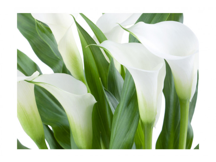 Photo Wallpaper Bunch of flowers - callas 60667 additionalImage 1