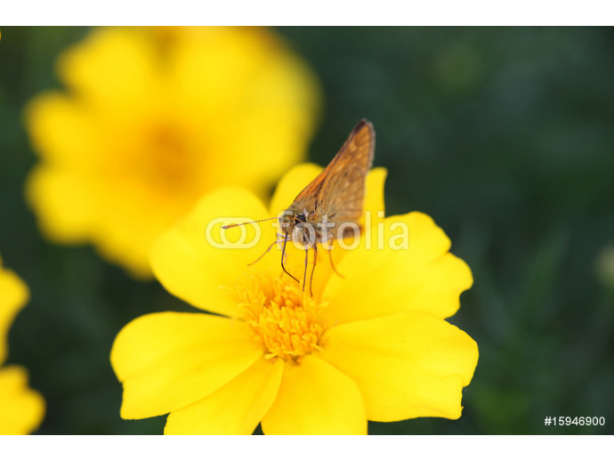 Butterfly & yellow 64238