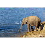 baby elephant going to drink water 64238