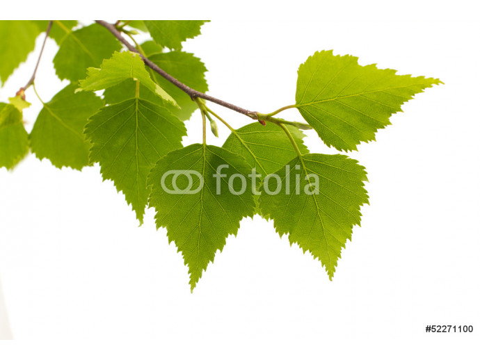 Birch leaves of the tree. 64238