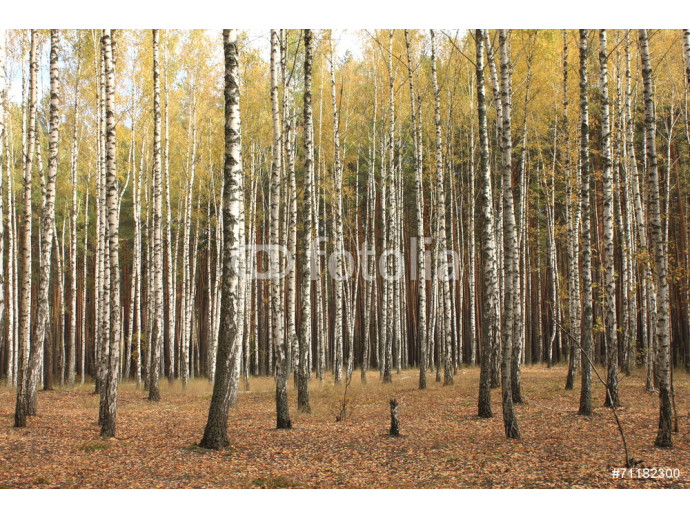 Photo wallpaper Autumn trees with yellowing leaves 64238