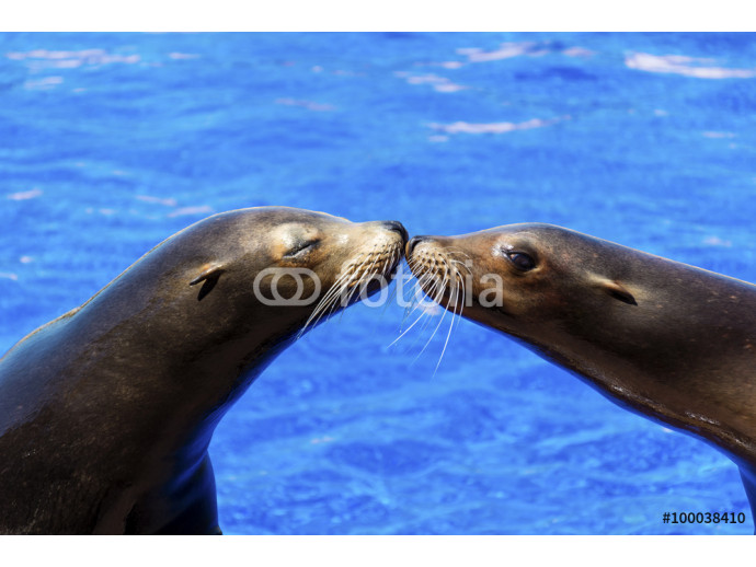 Portrait of marine seal kissing near water pool. 64238