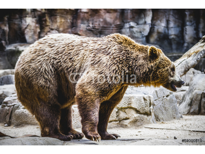 Wallpaper beautiful and furry brown bear, mammal 64238
