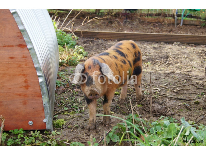 A Young Oxford Sandy and Black Rare Breed Pig 64238