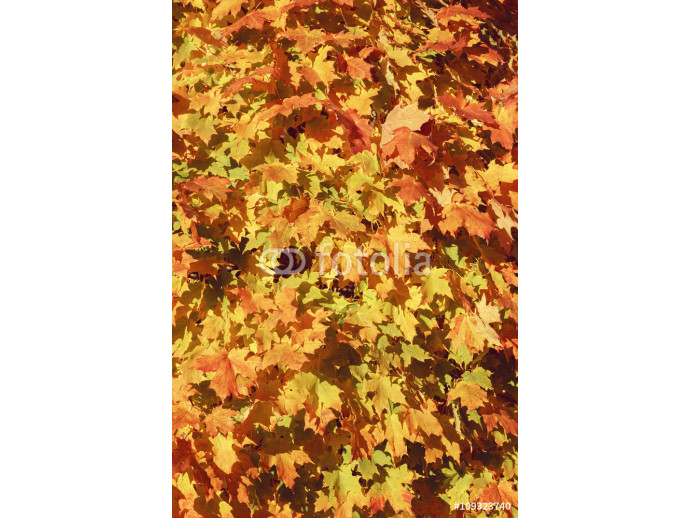 Beautiful close up image shot with colorful yellow red dry autumn fall maple leaves on tree, fall season, card wallpaper with textured background, copyspace for text 64238