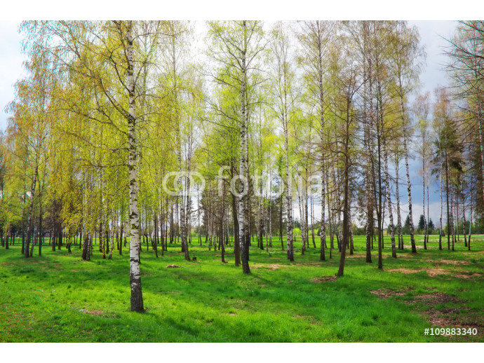 Park with birch trees and green grass 64238
