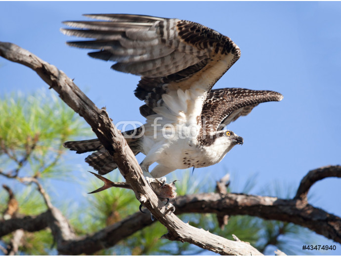 Osprey Taking Flight with Fish in Talons 64238