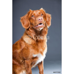 Beautiful and cute toller dog isolated on grey. 64238