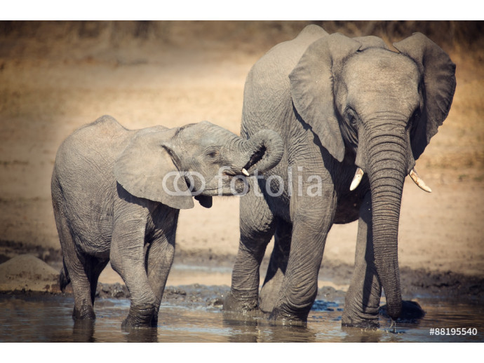 Elephant calf drinking water on dry and hot day 64238