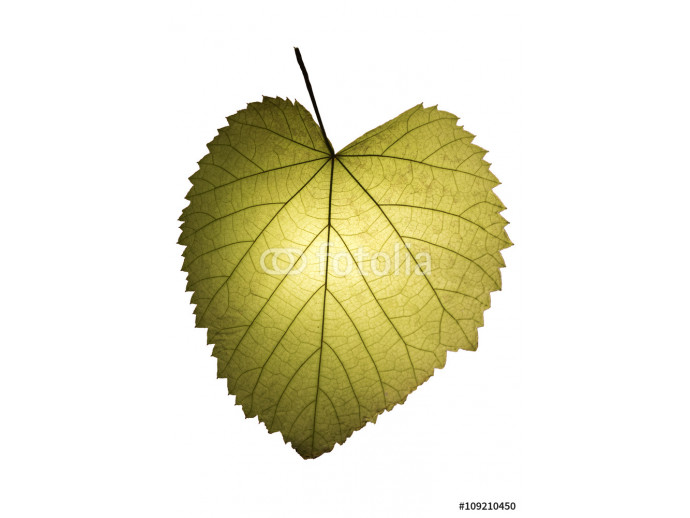 Green heart shaped leaf isolated on white, clipping path included 64238