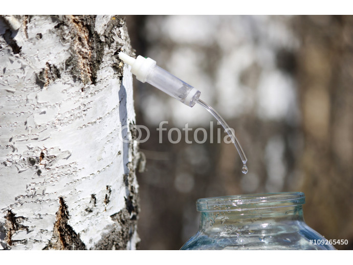 Collecting juice from birch, how to get birch juice 64238