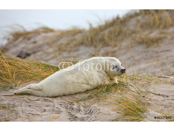 Young baby grey seal 64238