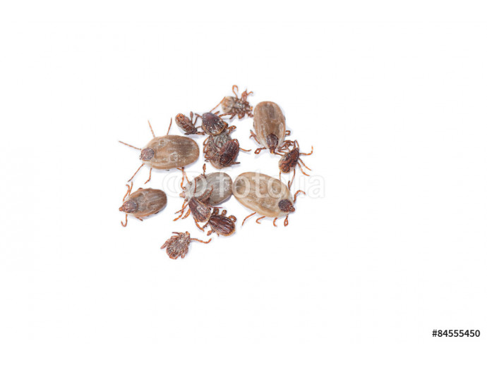 Group of dead ticks on white background. 64238
