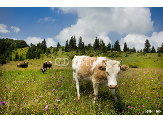 Cow on pasture 64238