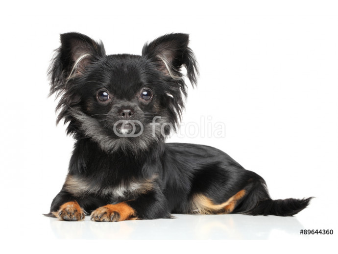 Long-Haired Chihuahua puppy 64238