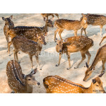 Group of spotted deer, chital, cheetal or Axis deer (Axis axis) in natural habitat 64238