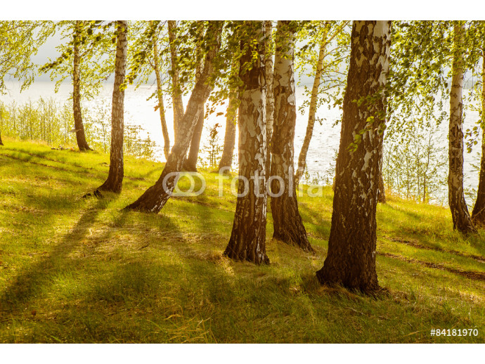 Photo wallpaper birches on the river bank 64238