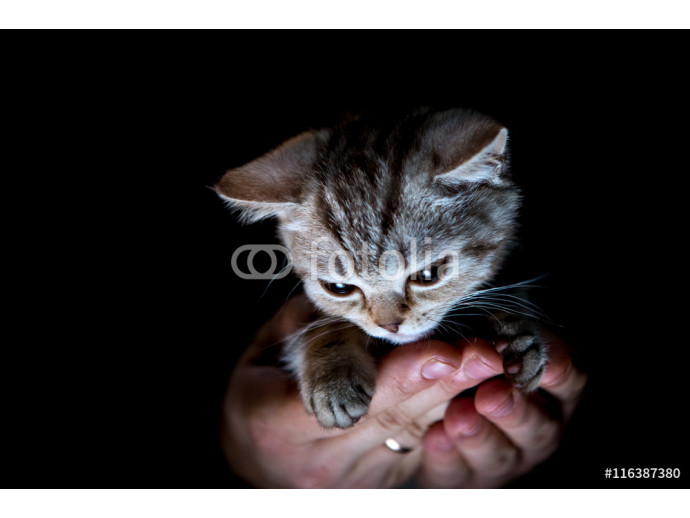 british kitten on hand 64238