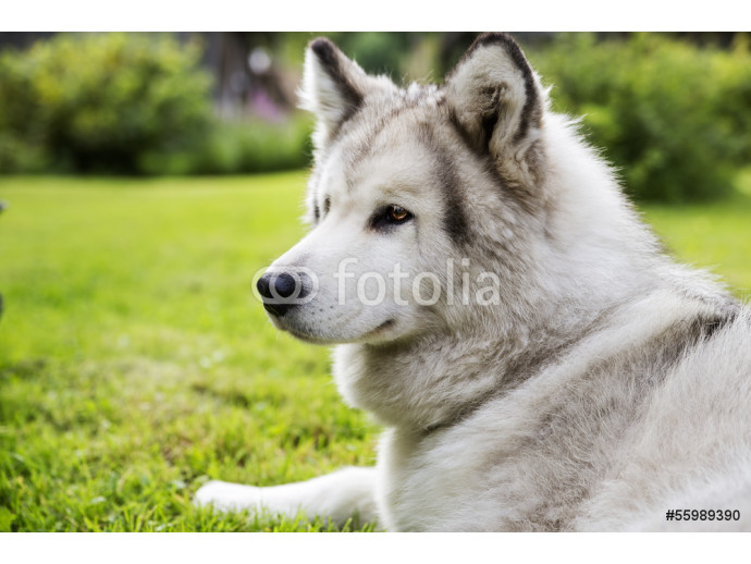 With white fur dog peacefully at garden 64238