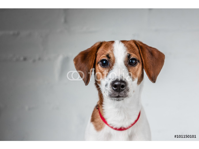Jack Russell Terrier puppy posing 64238