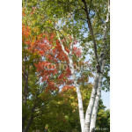 Autumn leaf colors on silver birch tree. 64238
