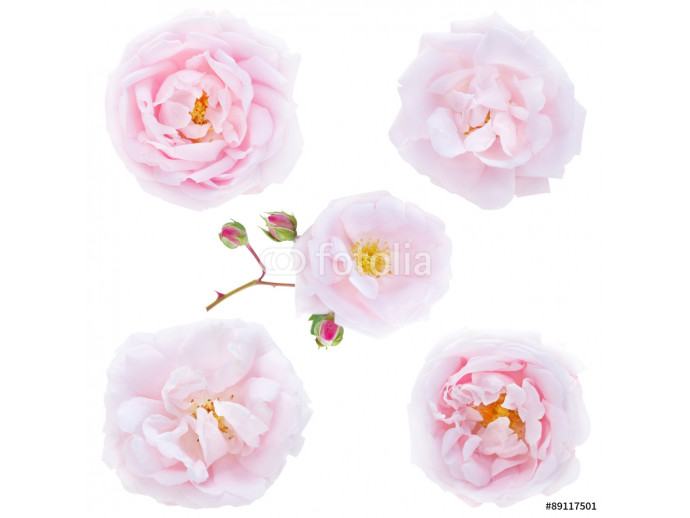 Five pale pink roses isolated on white 64238