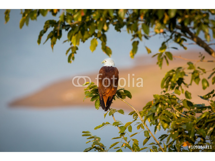 Fotomurale The brahminy kite, also known as the red-backed sea-eagle , is a medium-sized bird of prey in the family scavengers, which also includes many other  raptors, such as eagles, buzzards, and harriers.  64238