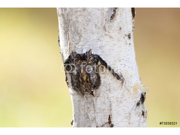 birch trunk in nature 64238