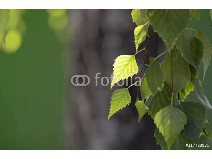 birch leaves on a branch near the fence green summer background 64238