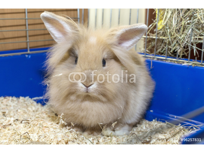 Golden rabbit in a blue cage. Domestic cute pet for children 64238