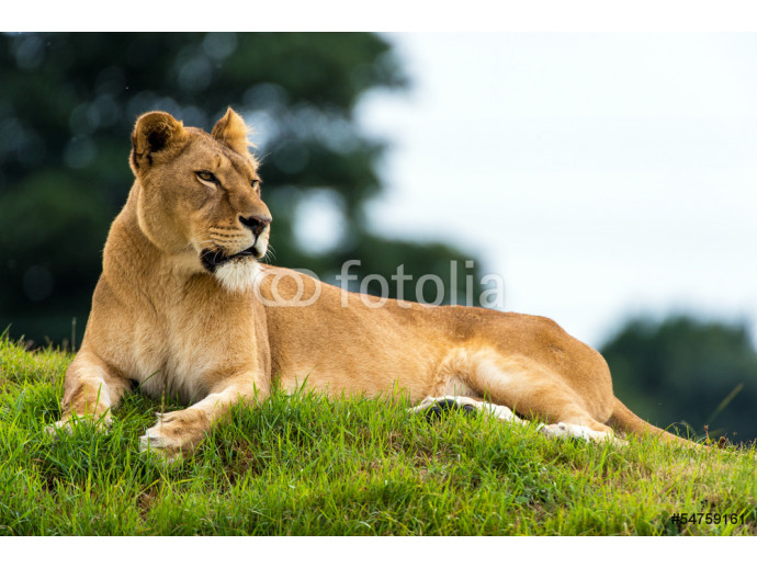 Resting Lioness 64238