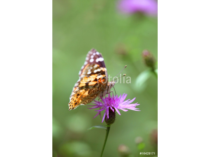 Cynthya cardui - Painted Lady 02 64238