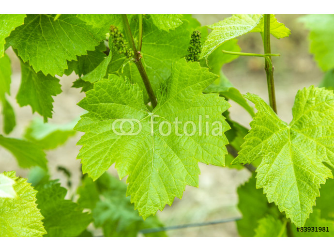 Background of fresh grape leaves 64238