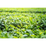 tea plantation close up background after the rain 64238