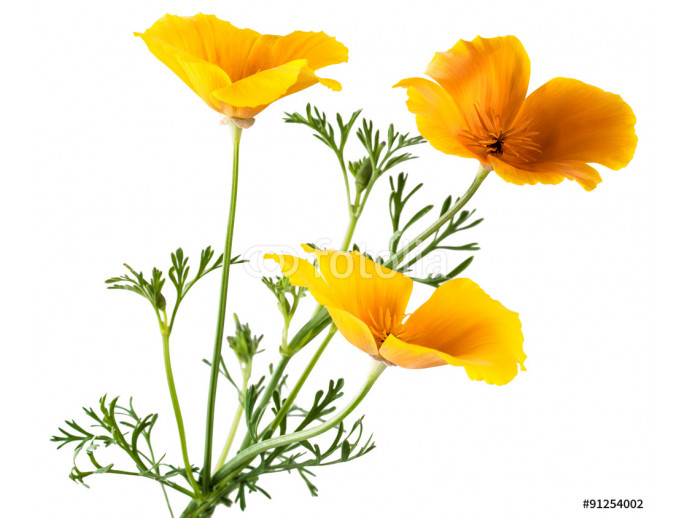 flower Eschscholzia californica (California poppy, golden poppy, California sunlight, cup of gold) isolated on white background shots in macro lens close-up 64238