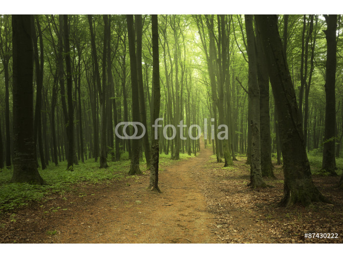 Foggy forest 64238
