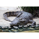Crocodiles lie and relax 64238