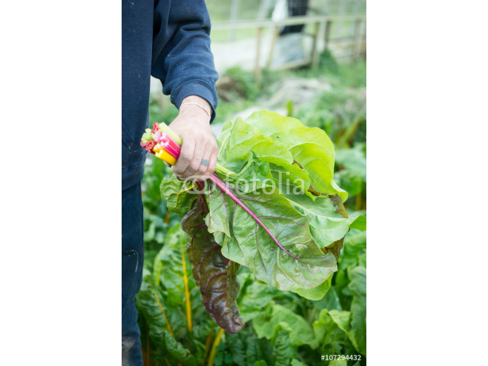 Male Farmer Holding Colourful Bunched Chard Leaves 64238