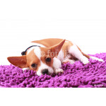 Chihuahua looking something on carpet color purple 64238