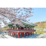 Gyeongbokgung Palace with cherry blossom in spring,Korea 64238