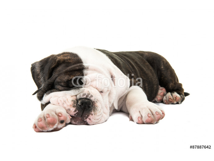 Cute english bulldog puppy sleeping isolated at a white background 64238