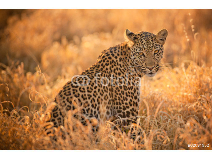 Leopard at Sunset 64238